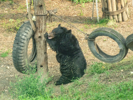 Asian black bear (Ursus thibetanus, previously known as Selenarctos thibetanus), also known as moon bear, Asiatic black bear and white-chested bear 写真素材
