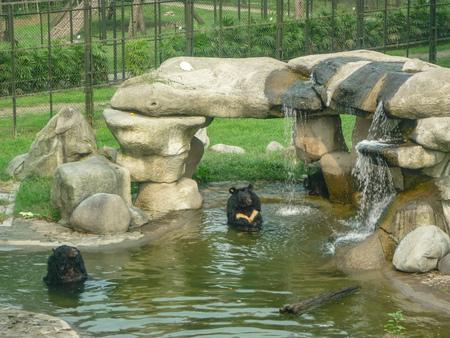 Asian black bear (Ursus thibetanus, previously known as Selenarctos thibetanus), also known as moon bear, Asiatic black bear and white-chested bear Stock Photo