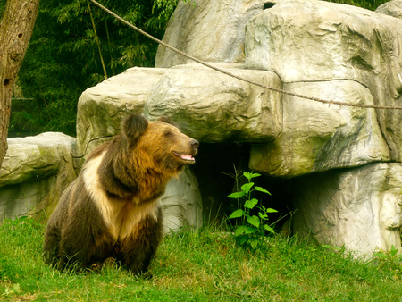 A Brown Bear in the Animals Asia rescue centre near Chengdu, China Stock Photo