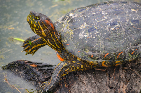 An Arrau Turtle resting and sunning itself on a log in the Amazon rainforest