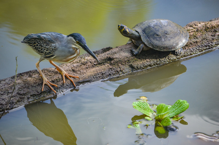a Striated Heron site on a floating log with a turtle. Iquitos, Peru Banque d'images