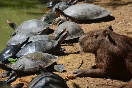Capybara and Turtles relaxing together on a riverbank in the Amazon 版權商用圖片
