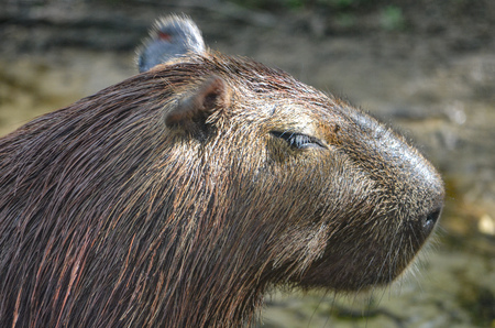 A Capybara by the side of a river in the Amazon rainforest