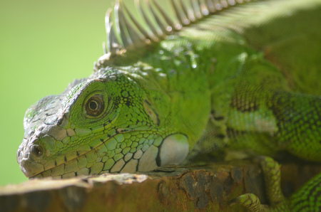 An Iguana lounging in the Amazon rainforest Stock Photo - 101721973