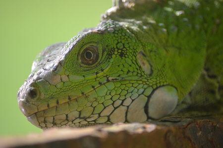 An Iguana lounging in the Amazon rainforest