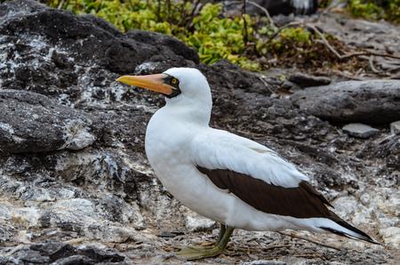 Nazca booby (Sula granti), on Isla Espanola on the Galápagos Islands