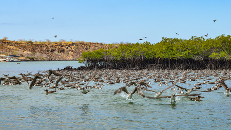 Flocks of Blue footed Boobys dive for fish in the Ithabaca Canal, off Isla Santa Cruz in the Galapagos Islands Stock Photo