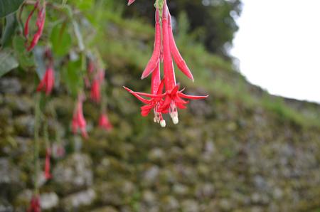 The Cantuta flower, the national flower of Peru, at Machu Picchu