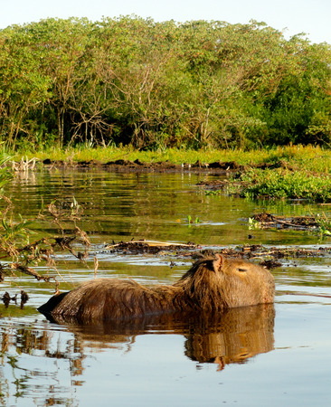 A Capybara, the worlds largest species of rodent, swimming in a lake in the Ibera wetlands in northern Argentina Stock Photo