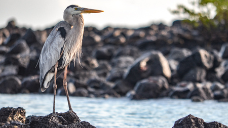 A Great Blue Heron (Ardea herodias) stands overlooking a lagoon at Black Turtle Cove, Isla Santa Cruz, on the Galapagos Islands.