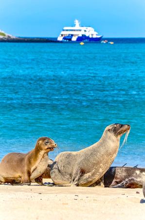 Galápagos sea lion (Zalophus wollebaeki), a species that exclusively breeds on the Galápagos Islands, on Isla Sante Fe.
