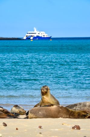 Galápagos sea lion (Zalophus wollebaeki), a species that exclusively breeds on the Galápagos Islands, on Isla Sante Fe. Stock fotó