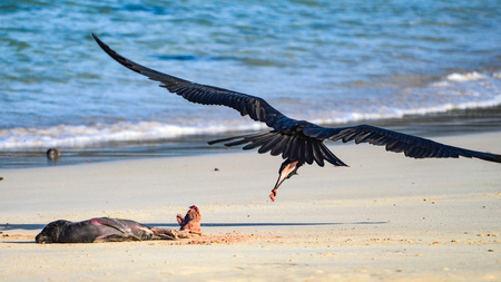 A frigate bird swoops to feed on placenta from a new born seal pup on a beach in the Galapagos Islands