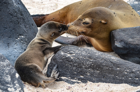 Galápagos sea lion (Zalophus wollebaeki), a species that exclusively breeds on the Galápagos Islands, on Isla Sante Fe.