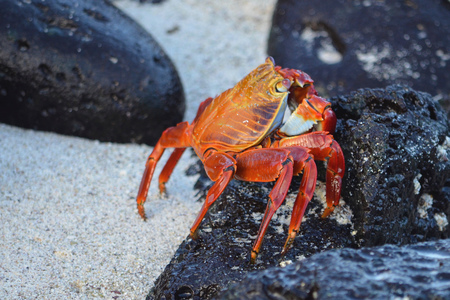 A Sally lightfoot crab (Grapsus grapsus) walks across rocks in the Galapagos Islands. 写真素材