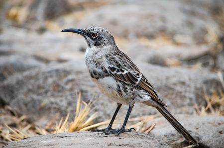 The Hood mockingbird (Mimus macdonaldi) also known as the Española mockingbird, on Isla Española in the Galapagos Islands Stock Photo