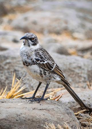 The Hood mockingbird (Mimus macdonaldi) also known as the Española mockingbird, on Isla Española in the Galapagos Islands