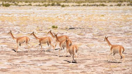 A group of Vicunas graze on the altiplano near Uyuni, Bolivia