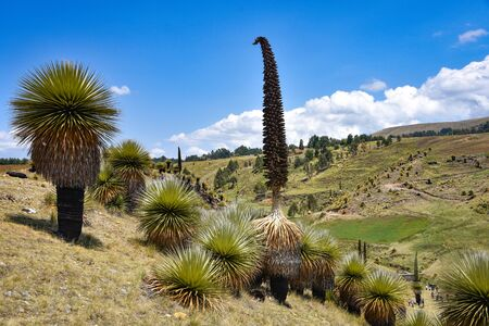 Fields of Puya Raimondi, the largest flower in the world, growing in the Andes near Ayacucho, Peru