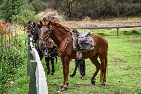 Hacienda Huayoccari, Cusco, Peru - Oct 13, 2018: Peruvian Paso Horses