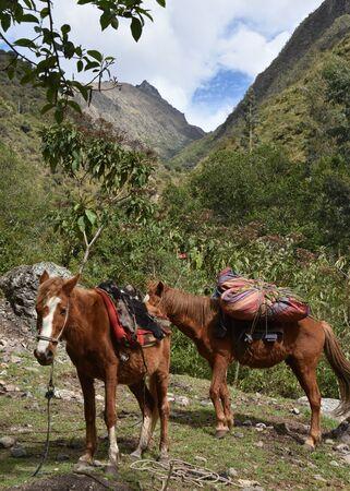 Horses carrying camping equipment on the Inca Trail to Machu Picchu. Cusco, Peru