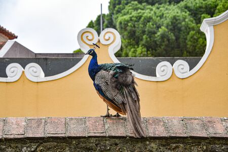 A colorful peacock sits on a wall in the Sao Jorge castle, Lisbon, Portugal 스톡 콘텐츠 - 129485378