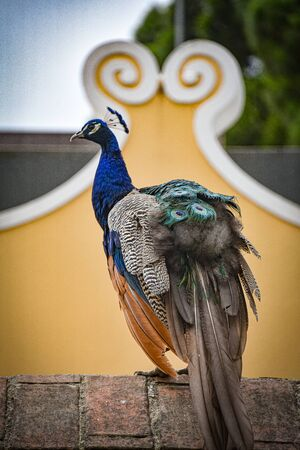 A colorful peacock sits on a wall in the Sao Jorge castle, Lisbon, Portugal