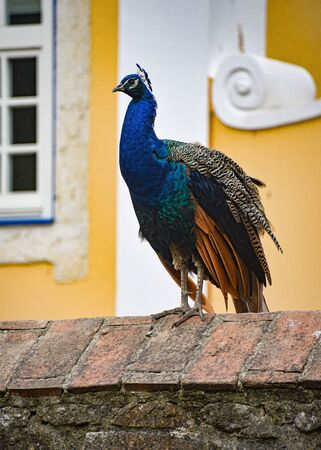 A colorful peacock sits on a wall in the Sao Jorge castle, Lisbon, Portugal 스톡 콘텐츠 - 129485360