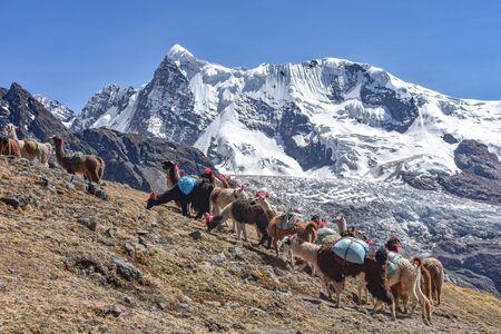 Llama pack in Cordillera Vilcanota, Ausangate, Cusco, Peru