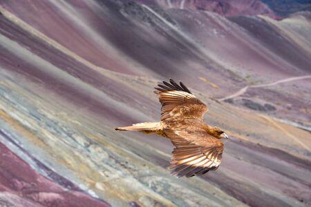 Juvenile Mountain Caracara birds on Vinicunca 'Rainbow Mountain'. Cusco, Peru