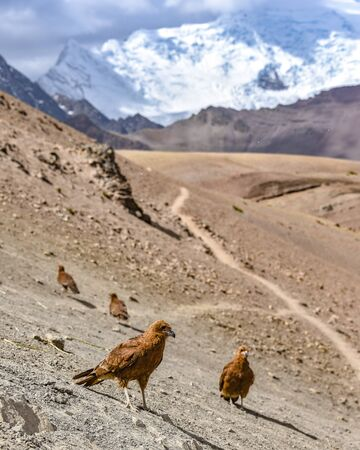 Juvenile Mountain Caracara birds against the backdrop of Ausangate Mountain. Cusco, Peru