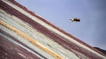 Juvenile Mountain Caracara birds on Vinicunca Rainbow Mountain. Cusco, Peru 版權商用圖片