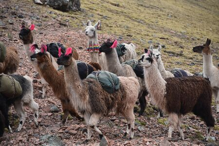 A pack of Llamas carry cargo along a trail in the Cordillera Vilcanota. Ausungate, Cusco, Peru 스톡 콘텐츠