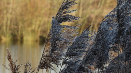 reeds: Canne  Archivio Fotografico
