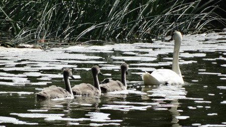 signet: Swans and Signets