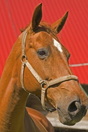 portrait of a horse Stock Photo - 22550074