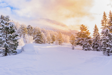 winter sunrise: firs with sunrise, winter Stock Photo