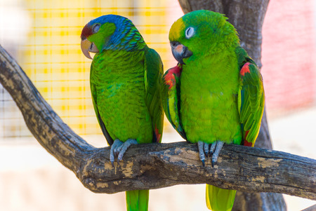 loros verdes: Dos loros verdes