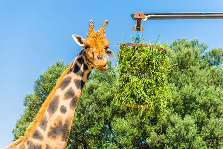 Eating giraffe, Safari Park - Majorca Stock Photo