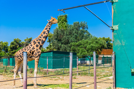 Eating giraffe, Safari Park - Majorca Stock Photo