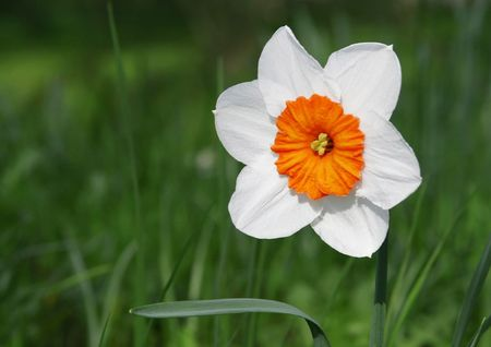 jonquil: A photography of a white Jonquil in a green garden Stock Photo