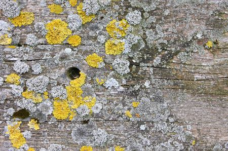 fungoid: A photography of a wood background with lichen