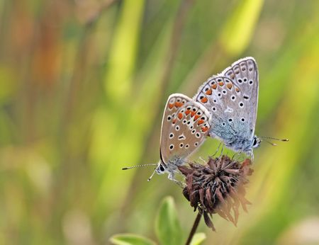 copulate: A photography of two beautiful little butterfly