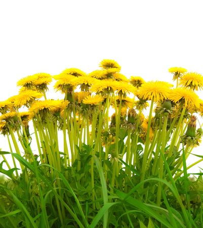 A photography of beautiful yellow isolated dandelion photo
