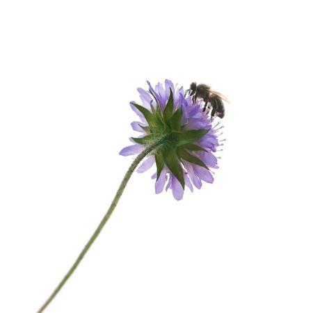 A photography of a single isolated bee on a flower photo