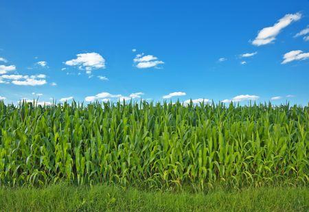 A photography of a beautiful corn field photo
