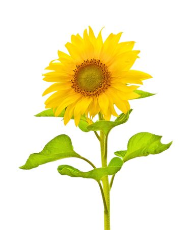 A photography of a sunflower isolated on white Stockfoto