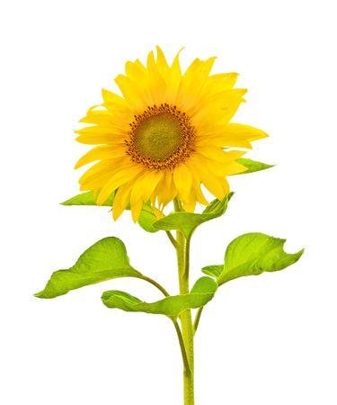 Een fotografie van een zonnebloem op witte geïsoleerd