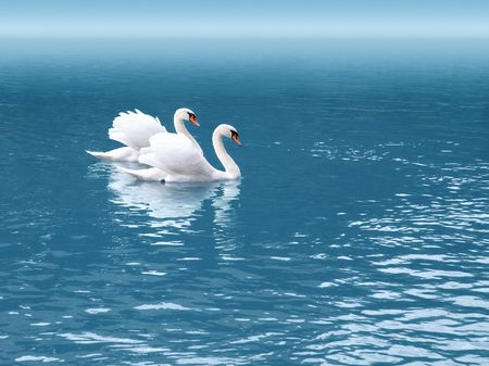 A photography of two white swan in love