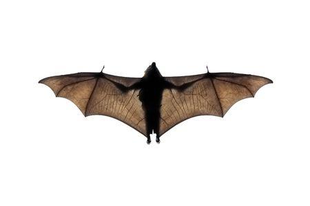 Eine Fotografie von einem fliegenden Bat in der Natur Standard-Bild